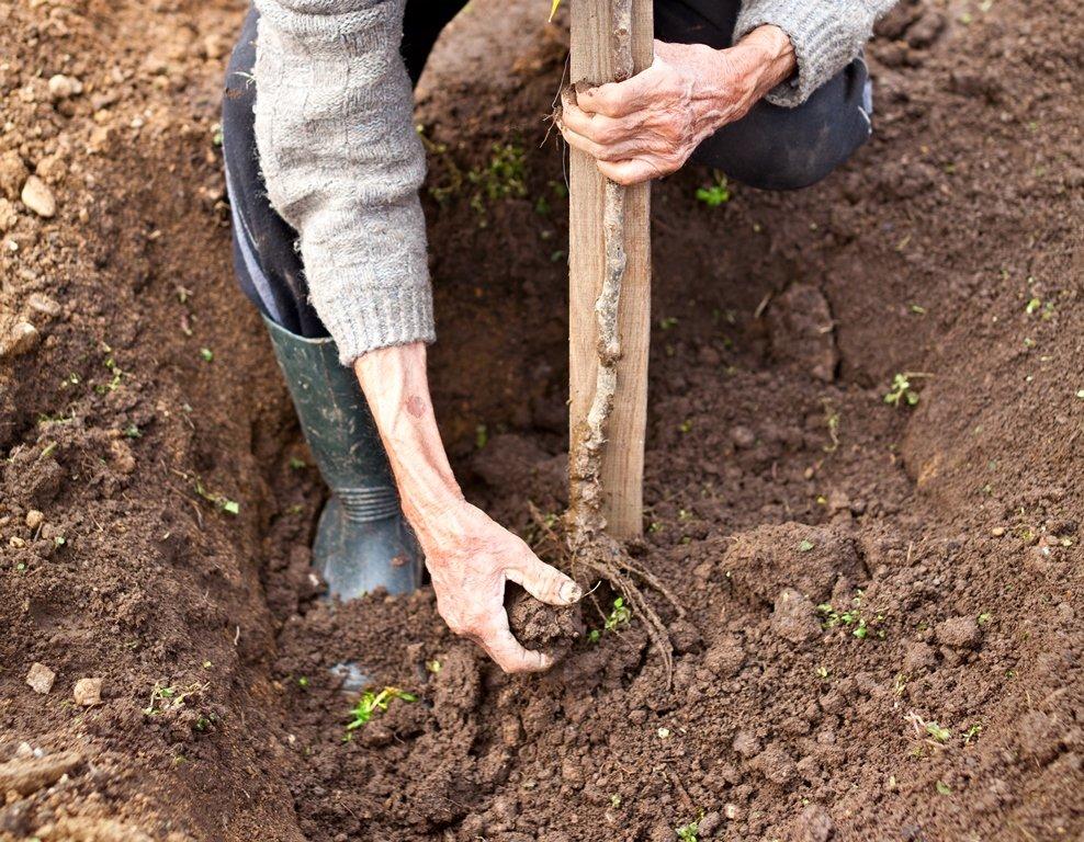 Правила посадки саженцев плодовых деревьев